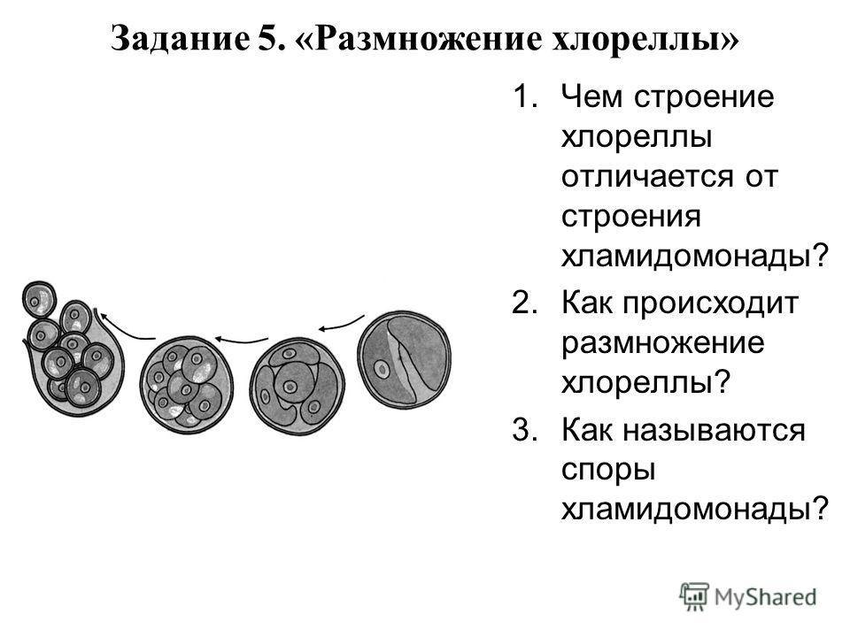 Задание 5. «Размножение хлореллы» 1.Чем строение хлореллы отличается от строения хламидомонады? 2.Как происходит размножение хлореллы? 3.Как называются споры хламидомонады?
