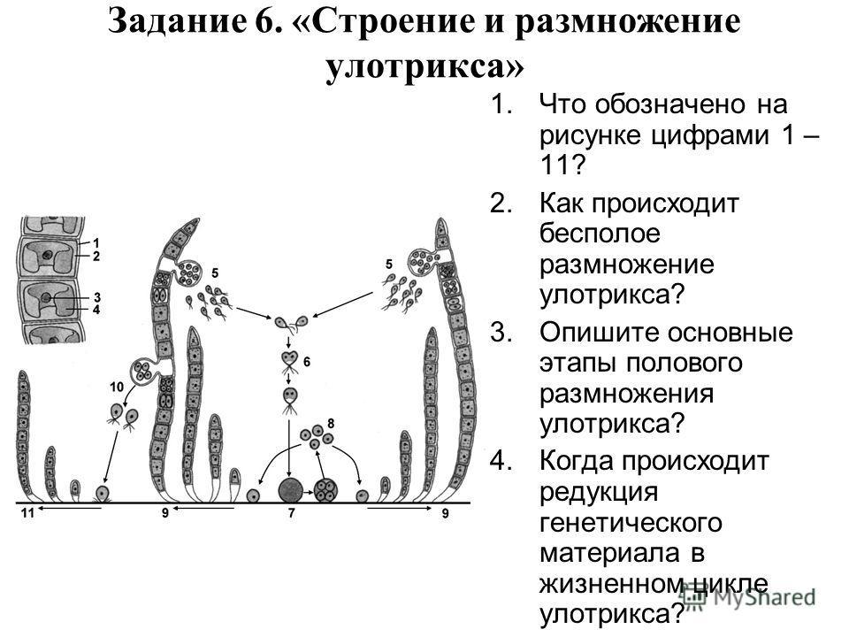 Задание 6. «Строение и размножение улотрикса» 1.Что обозначено на рисунке цифрами 1 – 11? 2.Как происходит бесполое размножение улотрикса? 3.Опишите основные этапы полового размножения улотрикса? 4.Когда происходит редукция генетического материала в