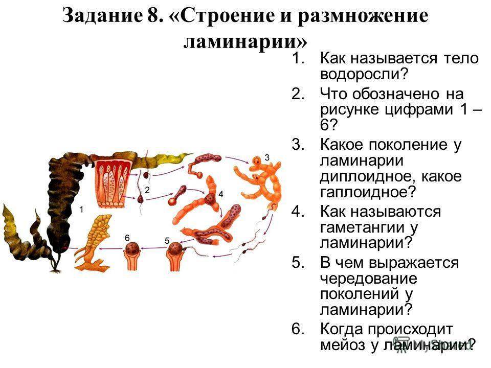 Задание 8. «Строение и размножение ламинарии» 1.Как называется тело водоросли? 2.Что обозначено на рисунке цифрами 1 – 6? 3.Какое поколение у ламинарии диплоидное, какое гаплоидное? 4.Как называются гаметангии у ламинарии? 5.В чем выражается чередова