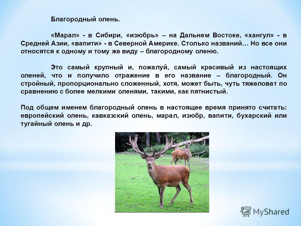 Благородный олень. «Марал» - в Сибири, «изюбрь» – на Дальнем Востоке, «хангул» - в Средней Азии, «вапити» - в Северной Америке. Столько названий… Но все они относятся к одному и тому же виду – благородному оленю. Это самый крупный и, пожалуй, самый к
