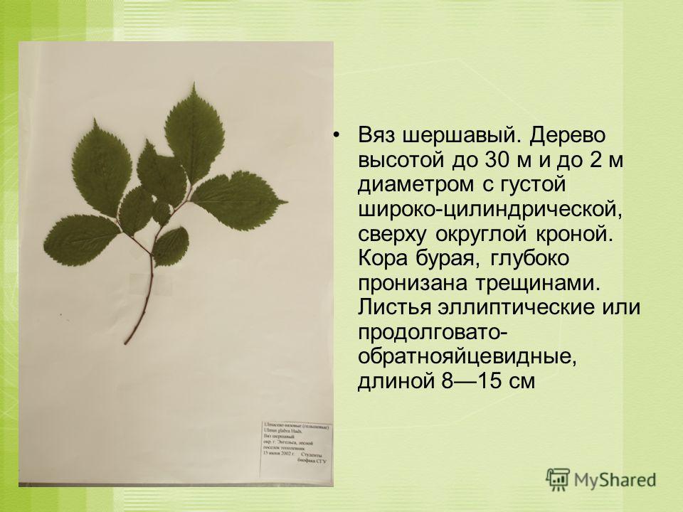 Вяз шершавый. Дерево высотой до 30 м и до 2 м диаметром с густой широко-цилиндрической, сверху округлой кроной. Кора бурая, глубоко пронизана трещинами. Листья эллиптические или продолговато- обратнояйцевидные, длиной 815 см