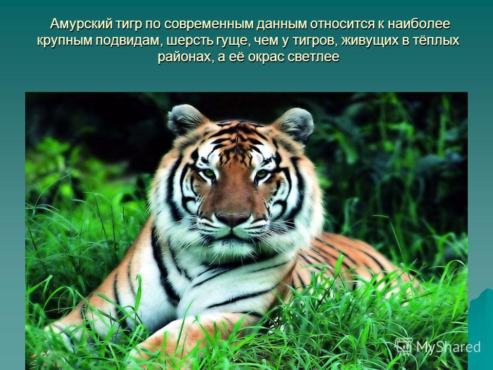 АМУРСКИЙ ТИГР Подготовили ученики 3Б класса Скрябина Ирина и Тришин Арсений