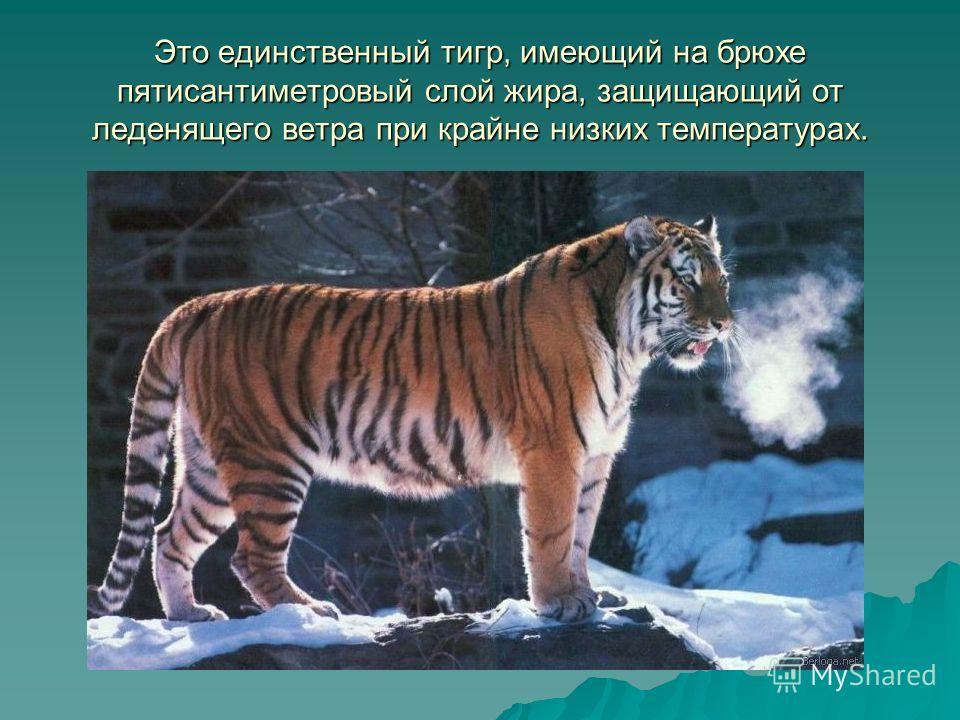 Тело вытянутое, гибкое, голова округлая, ноги недлинные, длинный хвост. Уши очень короткие, так как обитает в холодной местности.