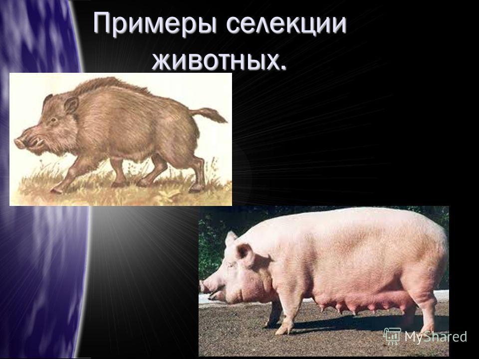 Примеры селекции животных.