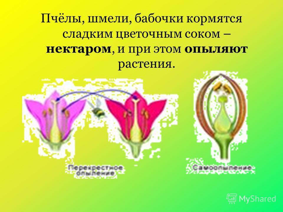 Пчёлы, шмели, бабочки кормятся сладким цветочным соком – нектаром, и при этом опыляют растения.