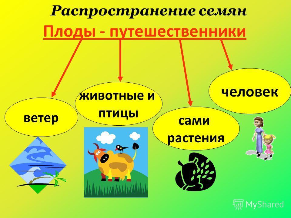 Плоды - путешественники ветер сами растения человек животные и птицы Распространение семян