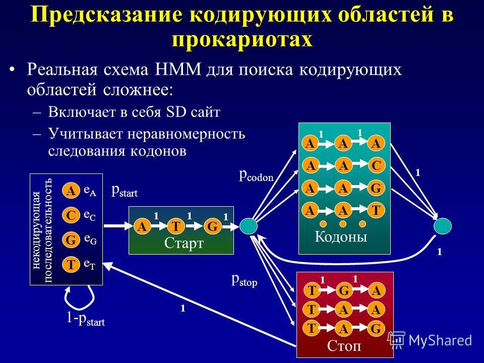 Предсказание кодирующих областей в прокариотах Реальная схема HMM для поиска кодирующих областей сложнее: –Включает в себя SD сайт –Учитывает неравномерность следования кодонов A C G T eAeA eCeC eGeG eTeT AT 11 AAC AAG AAT AAA 1 1 Кодоны p codon G 1