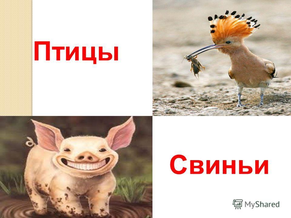 Птицы Свиньи