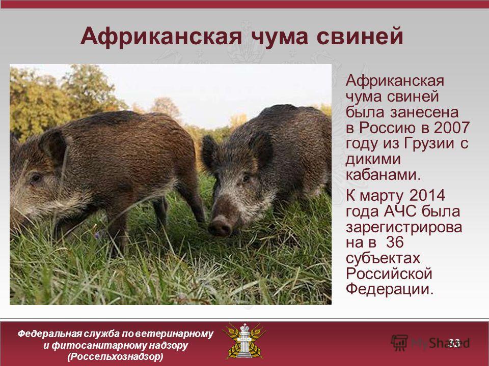 Федеральная служба по ветеринарному и фитосанитарному надзору (Россельхознадзор) Африканская чума свиней 33 Африканская чума свиней была занесена в Россию в 2007 году из Грузии с дикими кабанами. К марту 2014 года АЧС была зарегистрирова на в 36 субъ