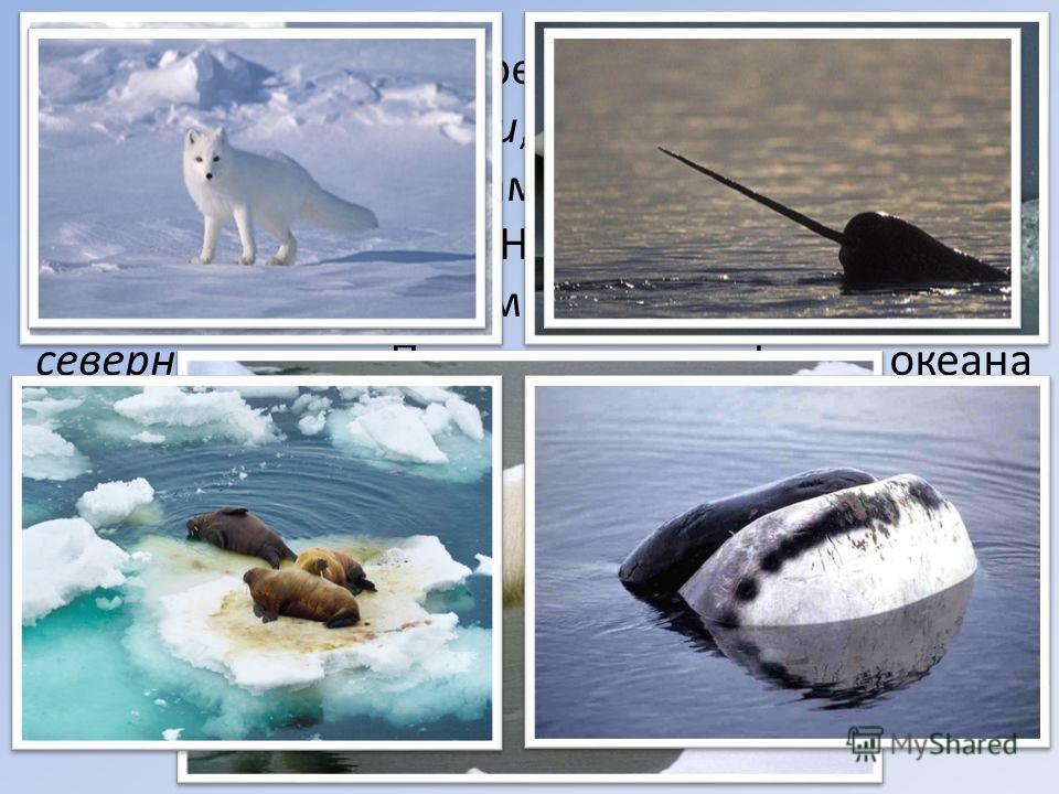 Млекопитающие представлены тюленями, моржами, белухами, китами (главным образом полосатиками и гренландскими китами), нарвалами. На островах встречаются лемминги, по ледяным мостам заходят песцы и северные олени. Представителем фауны океана следует с