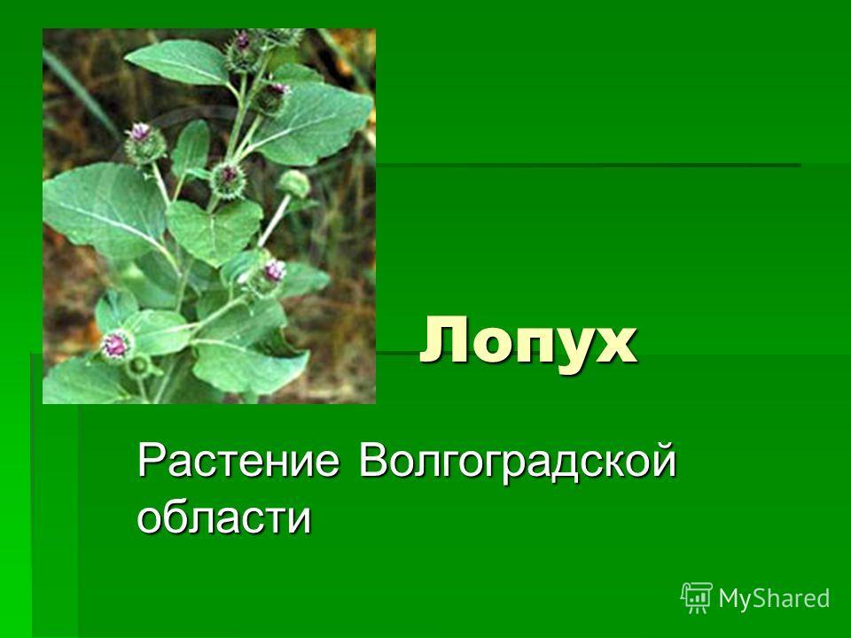 Лопух Лопух Растение Волгоградской области
