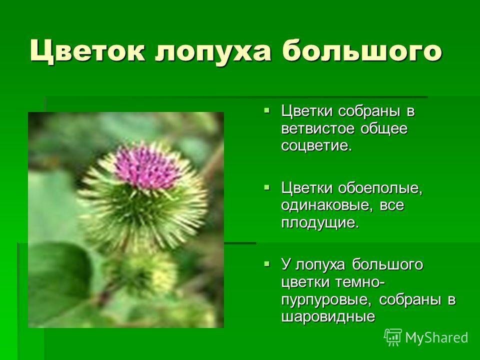 Цветок лопуха большого Цветки собраны в ветвистое общее соцветие. Цветки собраны в ветвистое общее соцветие. Цветки обоеполые, одинаковые, все плодущие. Цветки обоеполые, одинаковые, все плодущие. У лопуха большого цветки темно- пурпуровые, собраны в
