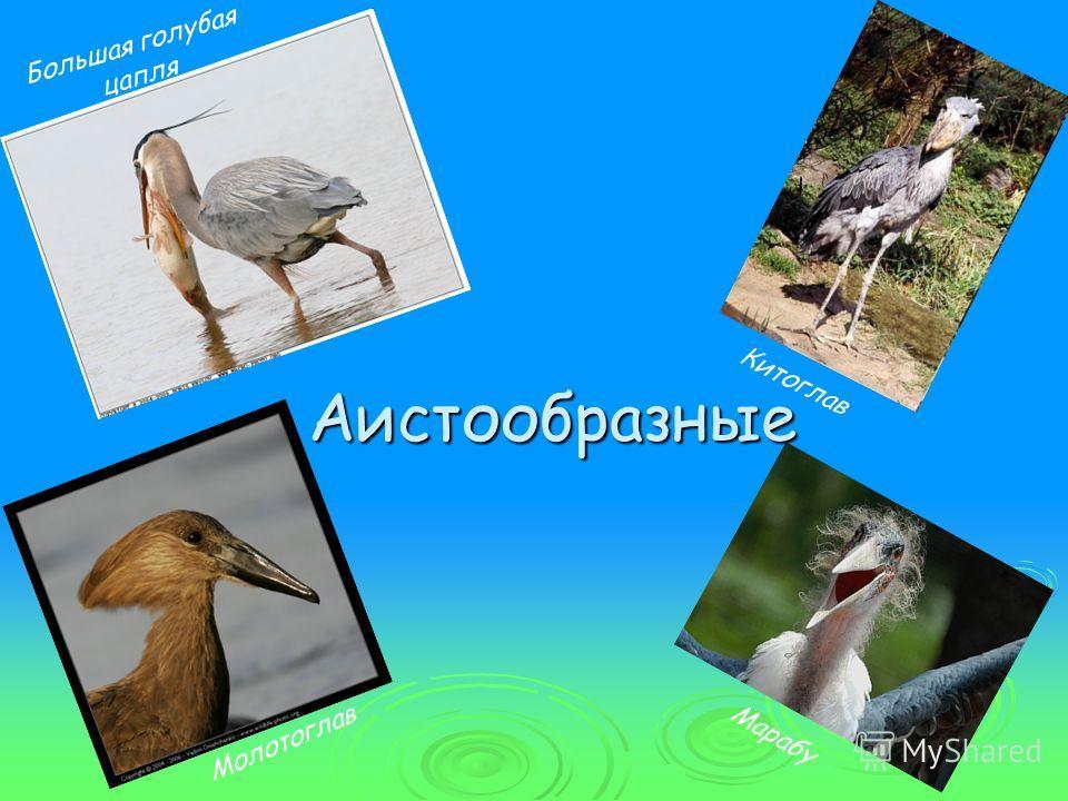 Аистообразные Большая голубая цапля Китоглав Молотоглав Марабу