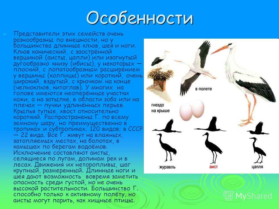 Особенности Представители этих семейств очень разнообразны по внешности, но у большинства длинные клюв, шея и ноги. Клюв конический, с заострённой вершиной (аисты, цапли) или изогнутый дугообразно книзу (ибисы), у некоторых плоский, с лопатообразным