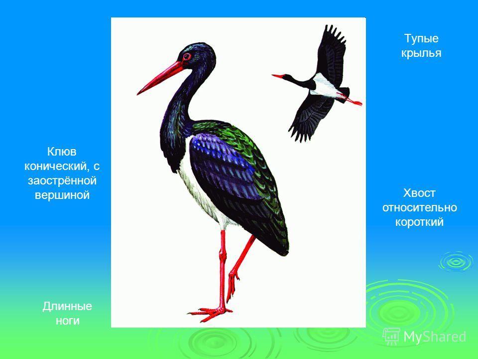 Клюв конический, с заострённой вершиной Тупые крылья Хвост относительно короткий Длинные ноги