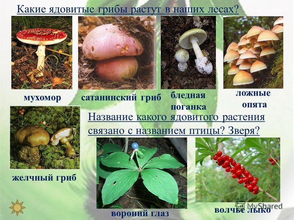 Какие ядовитые грибы растут в наших лесах ? мухомор сатанинский гриб бледная поганка ложные опята желчный гриб Название какого ядовитого растения связано с названием птицы ? Зверя ? волчье лыко вороний глаз