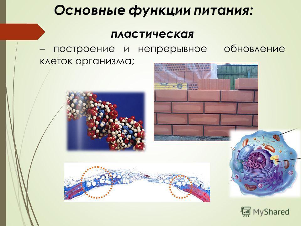 – построение и непрерывное обновление клеток организма; Основные функции питания: пластическая