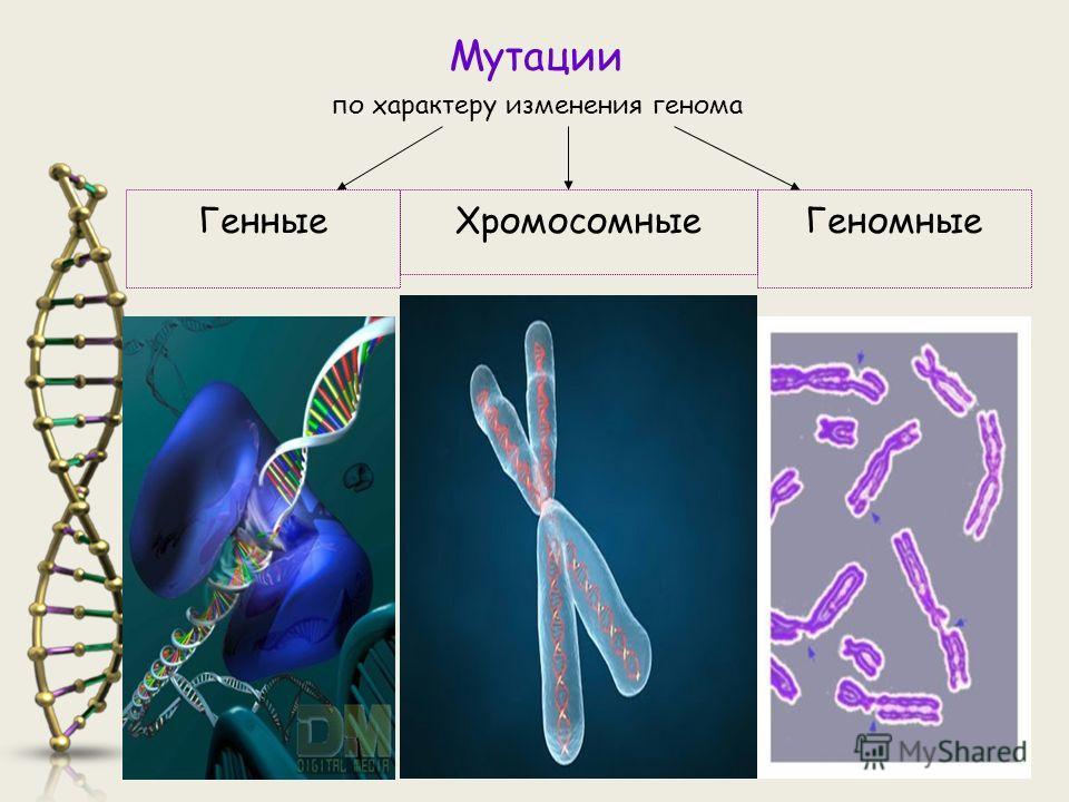 Мутации по характеру изменения генома ХромосомныеГенныеГеномные