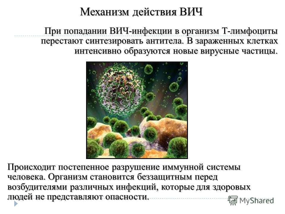 Механизм действия ВИЧ При попадании ВИЧ-инфекции в организм Т-лимфоциты перестают синтезировать антитела. В зараженных клетках интенсивно образуются новые вирусные частицы. Происходит постепенное разрушение иммунной системы человека. Организм станови