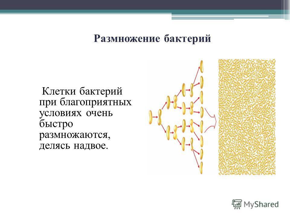 Клетки бактерий при благоприятных условиях очень быстро размножаются, делясь надвое. Размножение бактерий