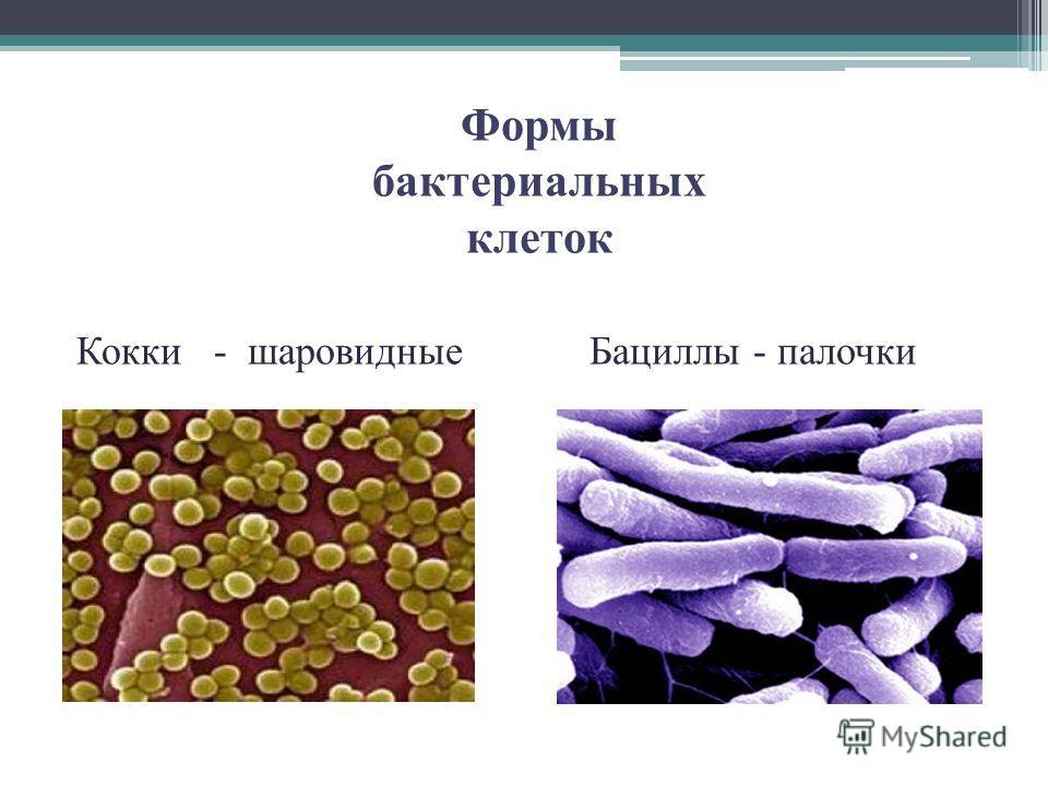 Формы бактериальных клеток Кокки - шаровидныеБациллы - палочки