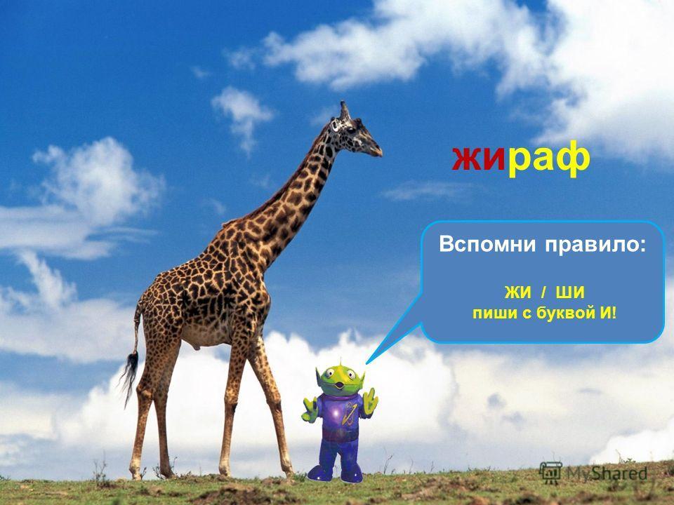 Он ходит, голову задрав, Не потому, что важный граф. Не потому, что гордый нрав, А потому, что он … жираф Вспомни правило: ЖИ / ШИ пиши с буквой И!