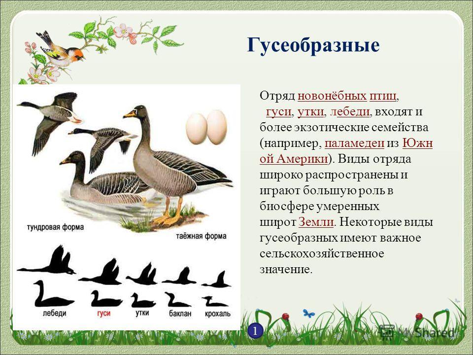 Гусеобразные 1 Отряд новонёбных птиц,новонёбныхптиц гуси, утки, лебеди, входят и более экзотические семейства (например, паламедеи из Южн ой Америки). Виды отряда широко распространены и играют большую роль в биосфере умеренных широт Земли. Некоторые
