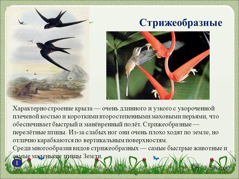 Стрижеобразные 1 Характерно строение крыла очень длинного и узкого с укороченной плечевой костью и короткими второстепенными маховыми перьями, что обеспечивает быстрый и манёвренный полёт. Стрижеобразные перелётные птицы. Из-за слабых ног они очень п