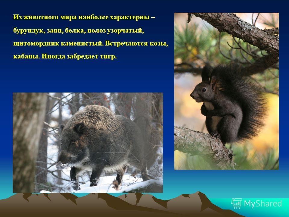 Из животного мира наиболее характерны – бурундук, заяц, белка, полоз узорчатый, щитомордник каменистый. Встречаются козы, кабаны. Иногда забредает тигр.