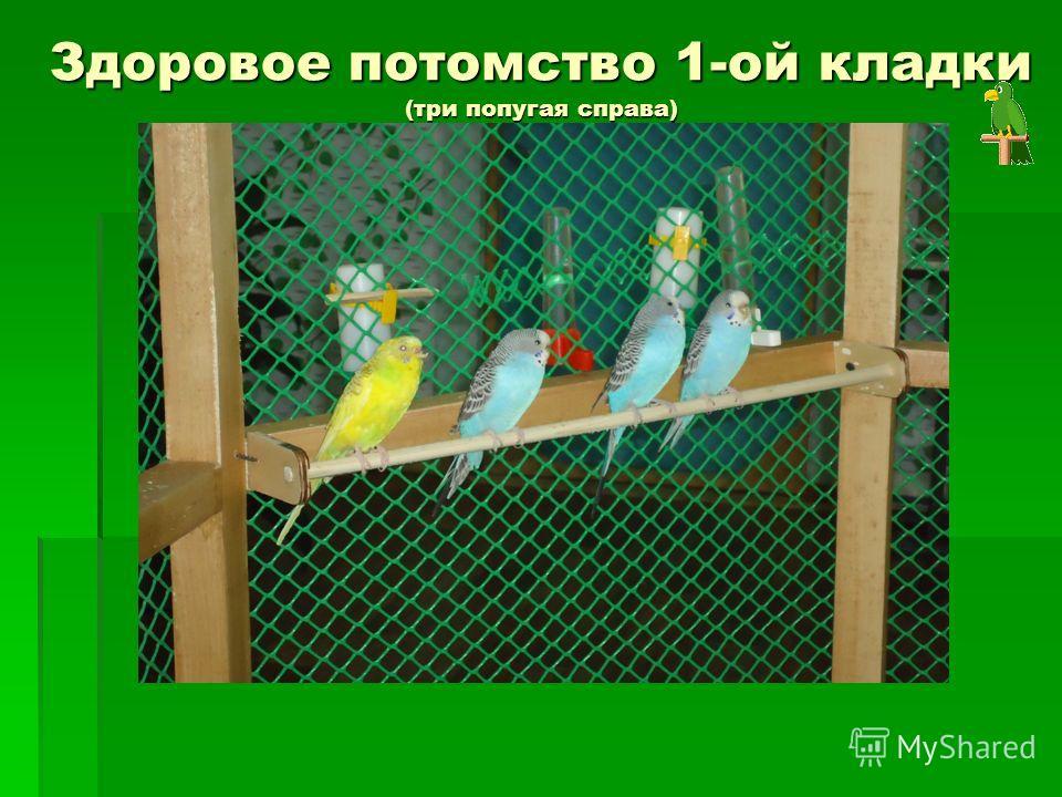 Здоровое потомство 1-ой кладки (три попугая справа) Здоровое потомство 1-ой кладки (три попугая справа)