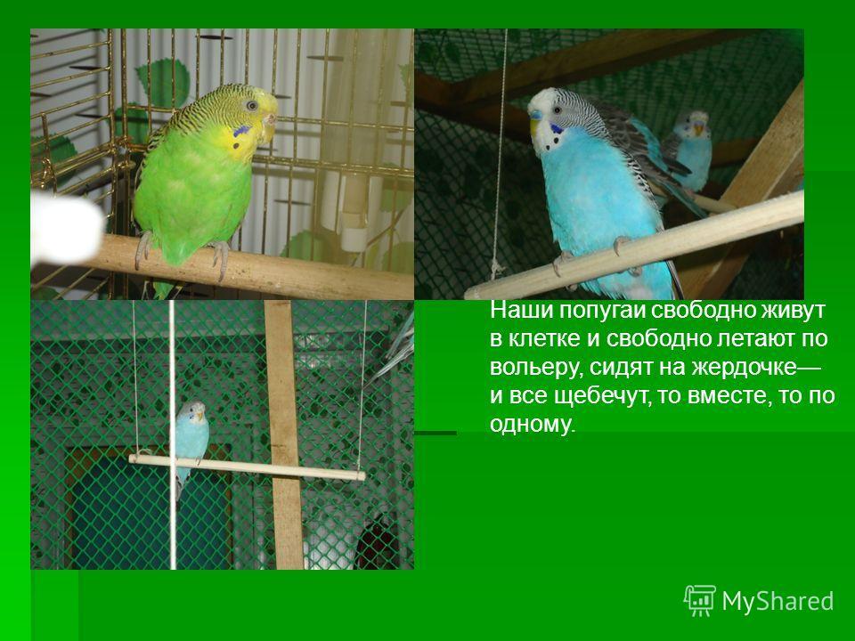 Наши попугаи свободно живут в клетке и свободно летают по вольеру, сидят на жердочке и все щебечут, то вместе, то по одному.