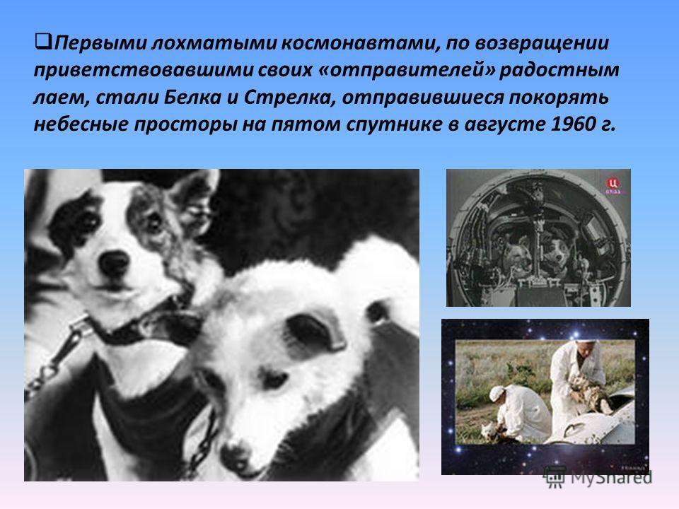 . Первыми лохматыми космонавтами, по возвращении приветствовавшими своих «отправителей» радостным лаем, стали Белка и Стрелка, отправившиеся покорять небесные просторы на пятом спутнике в августе 1960 г.