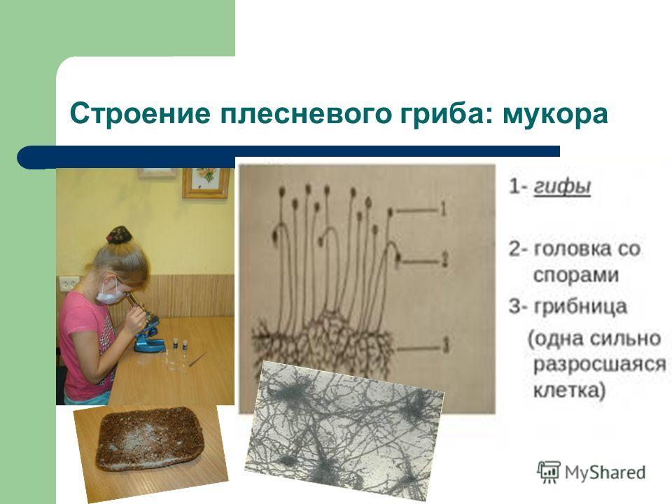 Строение плесневого гриба: мукора