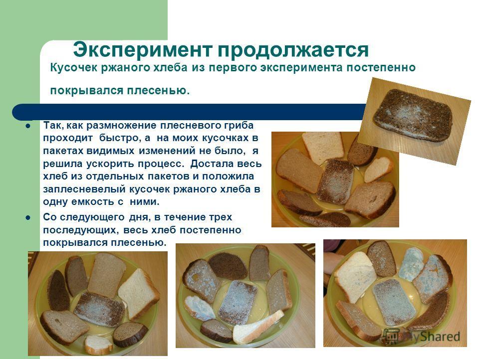 Эксперимент продолжается Кусочек ржаного хлеба из первого эксперимента постепенно покрывался плесенью. Так, как размножение плесневого гриба проходит быстро, а на моих кусочках в пакетах видимых изменений не было, я решила ускорить процесс. Достала в