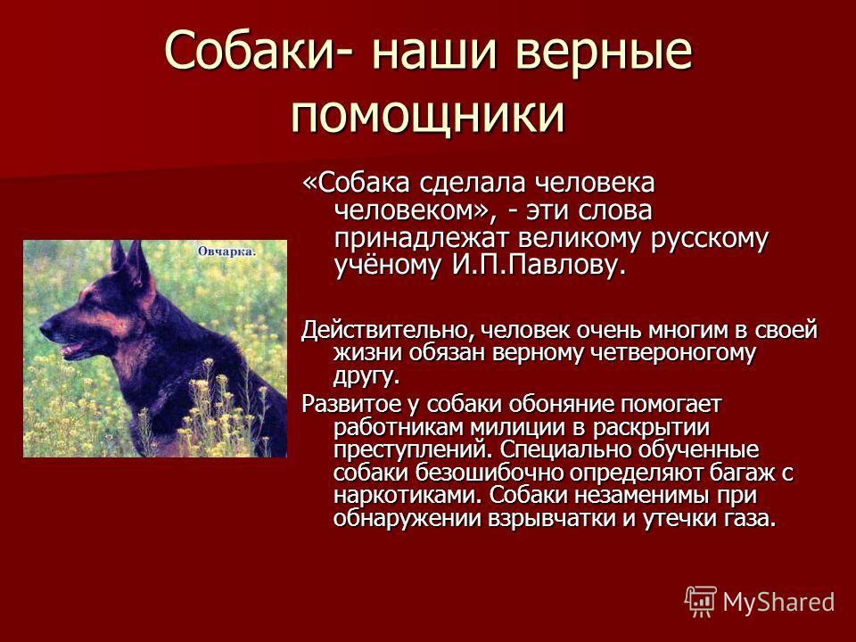 Собаки- наши верные помощники «Собака сделала человека человеком», - эти слова принадлежат великому русскому учёному И.П.Павлову. Действительно, человек очень многим в своей жизни обязан верному четвероногому другу. Развитое у собаки обоняние помогае