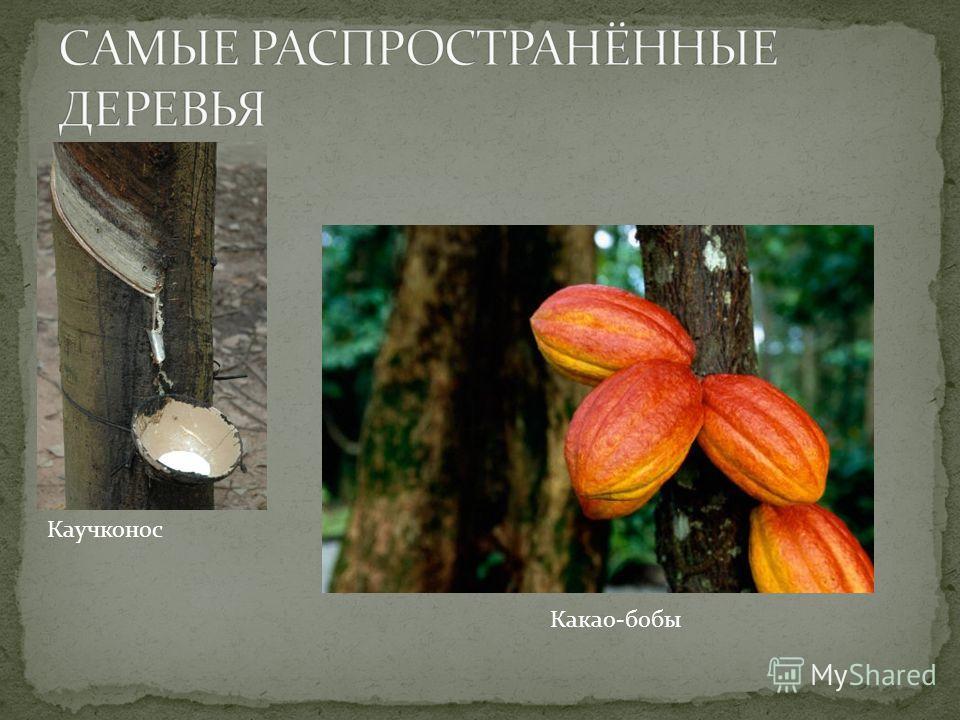 Каучконос Какао-бобы