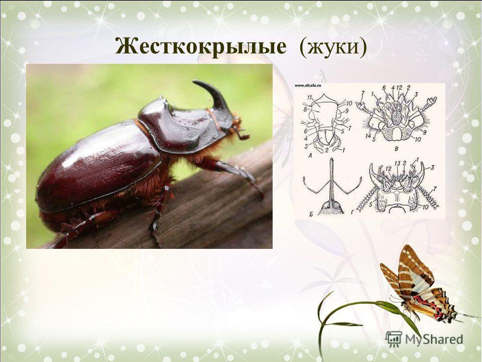 Жесткокрылые (жуки)