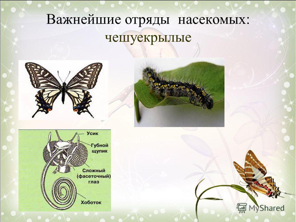 Важнейшие отряды насекомых: чешуекрылые