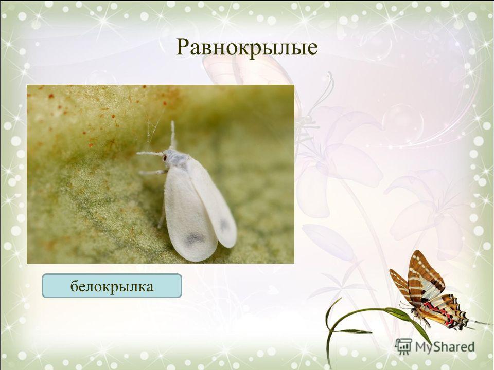 Равнокрылые белокрылка
