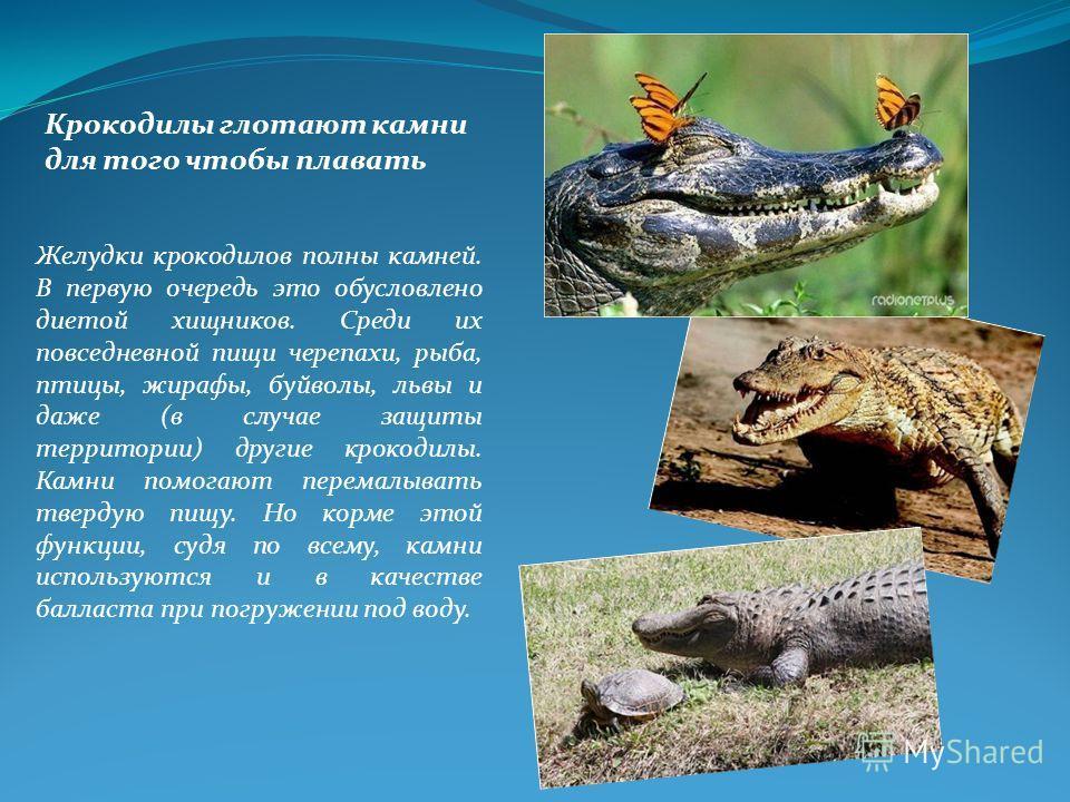 Желудки крокодилов полны камней. В первую очередь это обусловлено диетой хищников. Среди их повседневной пищи черепахи, рыба, птицы, жирафы, буйволы, львы и даже (в случае защиты территории) другие крокодилы. Камни помогают перемалывать твердую пищу.