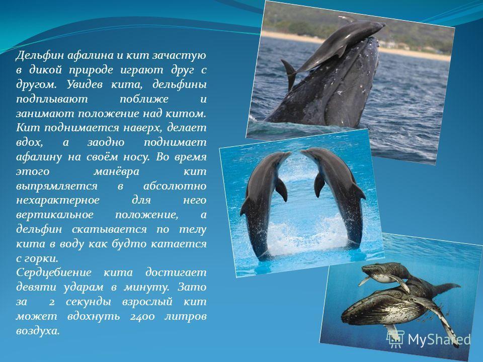 Дельфин афалина и кит зачастую в дикой природе играют друг с другом. Увидев кита, дельфины подплывают поближе и занимают положение над китом. Кит поднимается наверх, делает вдох, а заодно поднимает афалину на своём носу. Во время этого манёвра кит вы