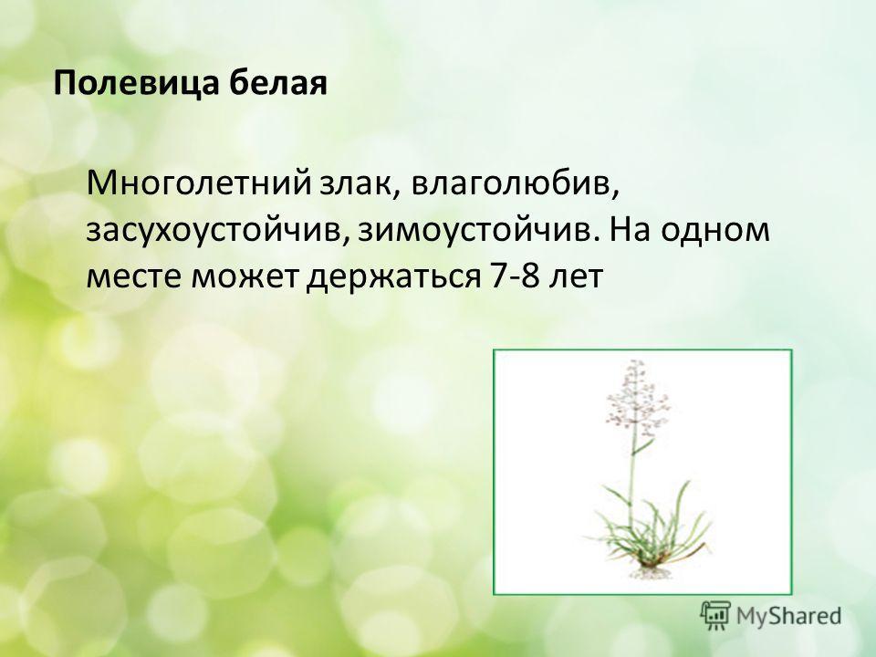 Полевица белая Многолетний злак, влаголюбив, засухоустойчив, зимоустойчив. На одном месте может держаться 7-8 лет