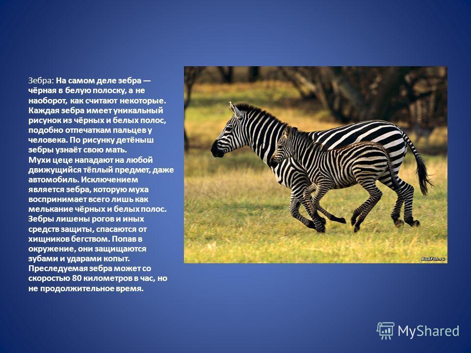 Зебра: На самом деле зебра чёрная в белую полоску, а не наоборот, как считают некоторые. Каждая зебра имеет уникальный рисунок из чёрных и белых полос, подобно отпечаткам пальцев у человека. По рисунку детёныш зебры узнаёт свою мать. Мухи цеце напада