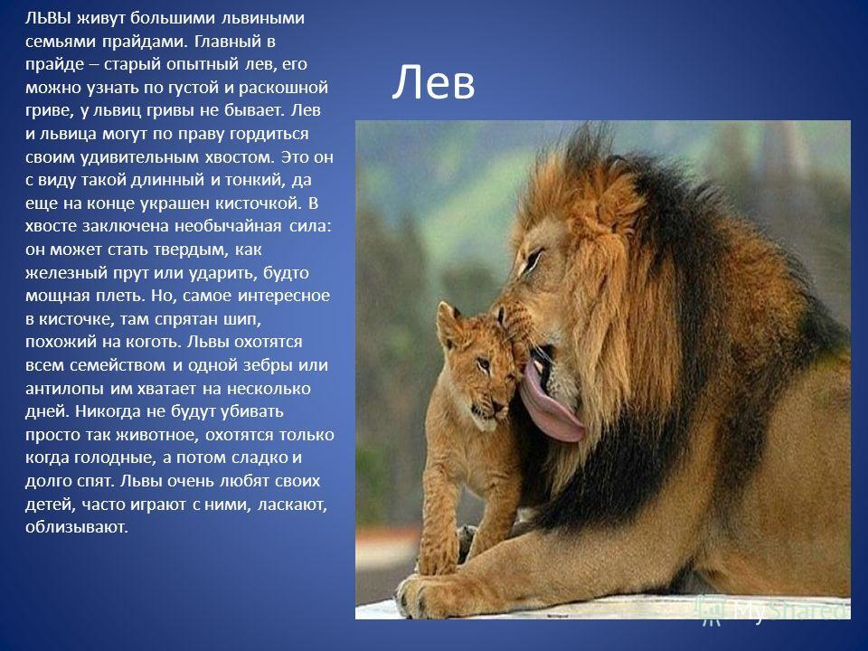Лев ЛЬВЫ живут большими львиными семьями прайдами. Главный в прайде – старый опытный лев, его можно узнать по густой и раскошной гриве, у львиц гривы не бывает. Лев и львица могут по праву гордиться своим удивительным хвостом. Это он с виду такой дли