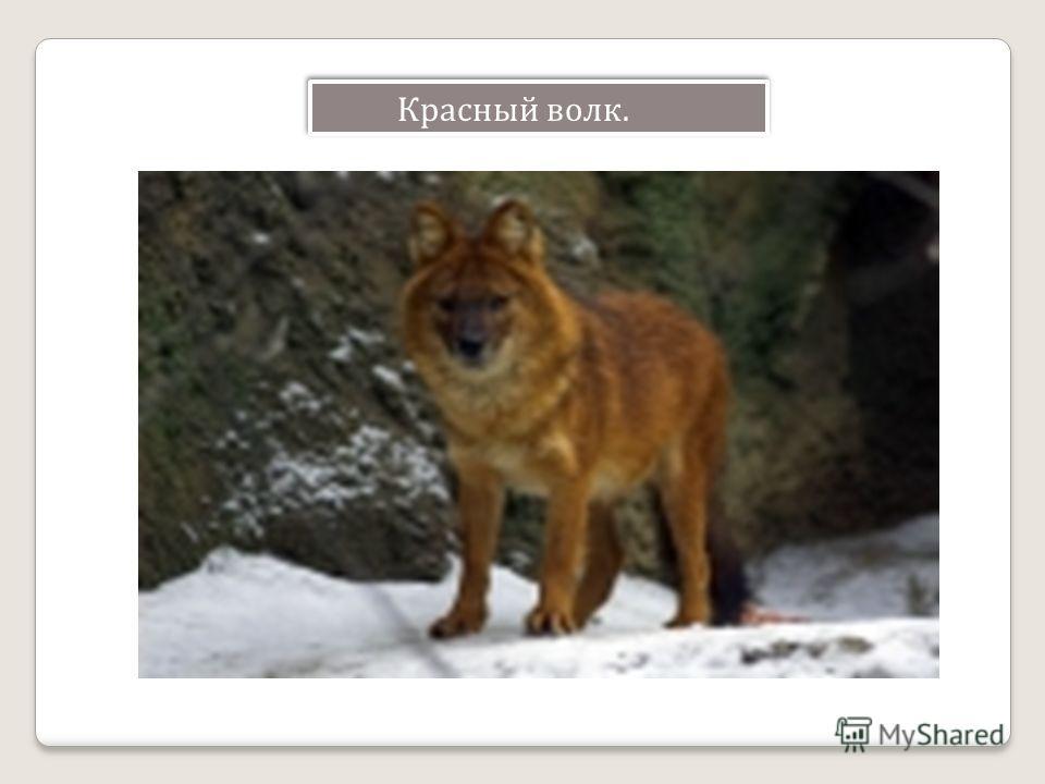 Красный волк.