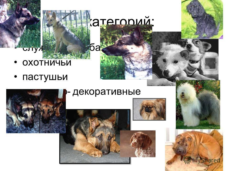 5 категорий: служебные собаки охотничьи пастушьи комнатно- декоративные борзые