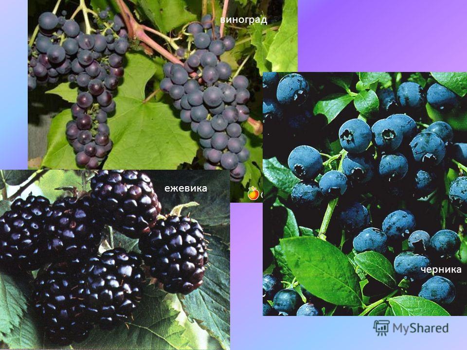 виноград ежевика черника