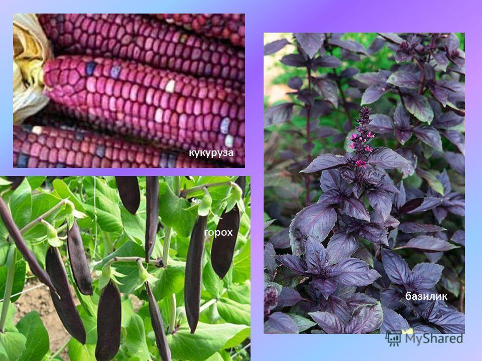 кукуруза горох базилик
