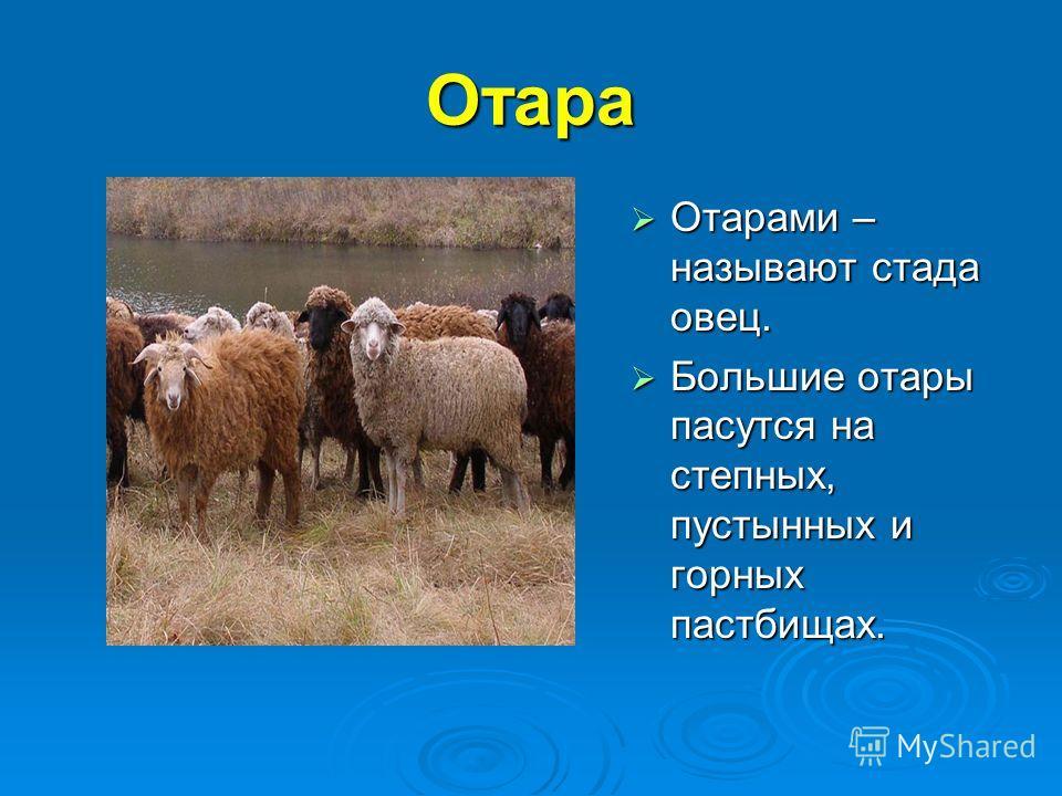 Отара Отарами – называют стада овец. Отарами – называют стада овец. Большие отары пасутся на степных, пустынных и горных пастбищах. Большие отары пасутся на степных, пустынных и горных пастбищах.