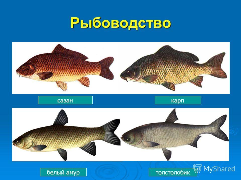 Рыбоводство сазанкарп белый амуртолстолобик